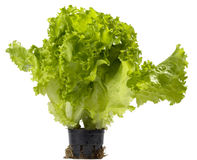 Lettuce bunch Royalty Free Stock Image