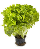 Lettuce bunch Stock Image