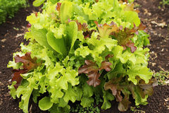 Lettuce bush on the the bed in the garden. Fresh iceberg lettuce bush growing in the garden Royalty Free Stock Photography