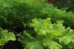 Lettuce and carrot in vegetable garden Stock Image