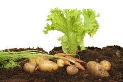 Lettuce, carrots and potatoes Royalty Free Stock Photos