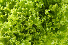 Lettuce close up. Curly green salad close up Stock Photography