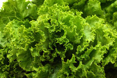 Lettuce close-up Stock Images