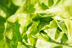 Lettuce close up Royalty Free Stock Images