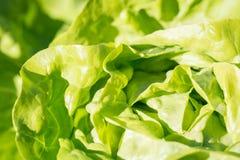 Lettuce close up