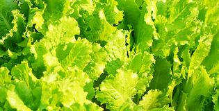 Lettuce close up Stock Image