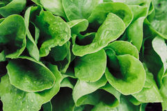 Lettuce, close-up Stock Photo