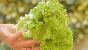 Lettuce close up in a sunny day stock video