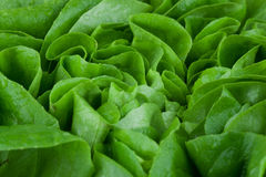 Lettuce. Close up of a washed lettuce Stock Image
