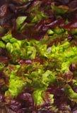Lettuce closeup Royalty Free Stock Photo