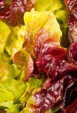 Lettuce closeup Stock Photo