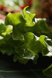 Lettuce closeup Stock Image