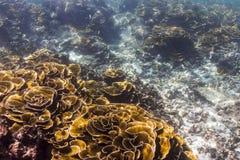 Lettuce coral Stock Image