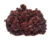 Lettuce crispy purple Stock Photography
