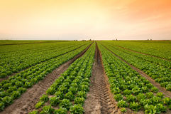 Lettuce crop Stock Images