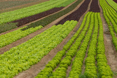 Lettuce crop Royalty Free Stock Image