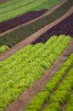 Lettuce crop Stock Photos