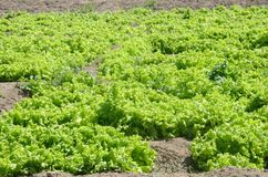 Lettuce crop on farmland Royalty Free Stock Photography