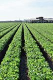 Lettuce Crop Harvest Stock Images