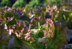 Lettuce growing stock images
