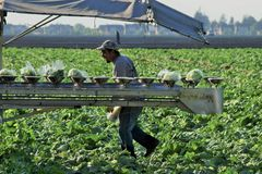 Lettuce Crop Harvest. Seasonal field workers hustle to cut, bag and pack heads of iceberg lettuce in the Salinas Valley of central California, as festive Mexican Stock Photos