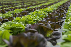 Lettuce crops in greenhouse Stock Image