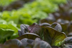 Lettuce crops in greenhouse Royalty Free Stock Photo