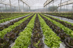 Lettuce crops Stock Photography