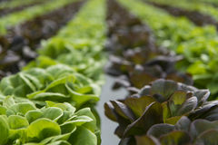 Lettuce crops in greenhouse Stock Images