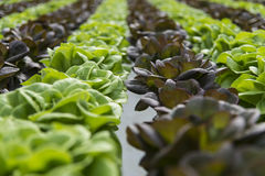 Lettuce crops in greenhouse Stock Photography