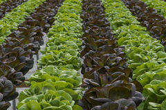 Lettuce crops in greenhouse Royalty Free Stock Images