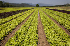 Lettuce cultivated Stock Image