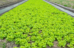 Lettuce cultivation Stock Photo