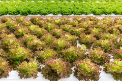 Lettuce cultivation on hydroponic system with water and fertilizer in irrigation Stock Images