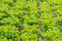 Lettuce cultivation on hydroponic system with water and fertilizer in irrigation Royalty Free Stock Photos