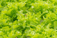 Lettuce cultivation on hydroponic system with water and fertilizer in irrigation Royalty Free Stock Image