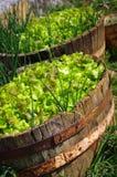 Lettuce Culture Stock Photos