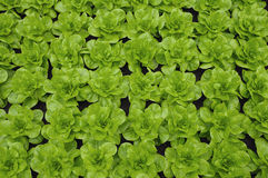 Lettuce culture Stock Image