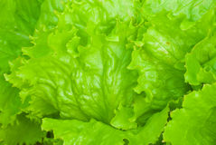 Lettuce - detail Royalty Free Stock Photos