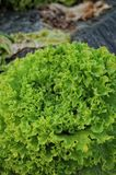 Lettuce detail Royalty Free Stock Images