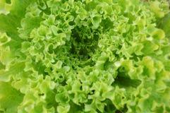 Lettuce detail Stock Images