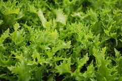 Lettuce detail Royalty Free Stock Image
