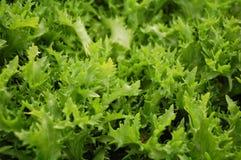 Lettuce detail Royalty Free Stock Image