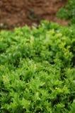 Lettuce detail Stock Photo