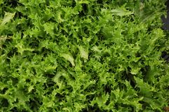 Lettuce detail Royalty Free Stock Photo
