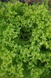 Lettuce detail Royalty Free Stock Photography
