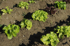 Lettuce in Diagonal Rows Stock Photography