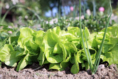Lettuce in ecological home garden. Royalty Free Stock Image