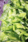 Lettuce in ecological home garden. Stock Photos