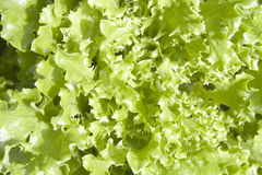 Lettuce - Fancy. Closs up of Fresh Fancy Lettuce stock image